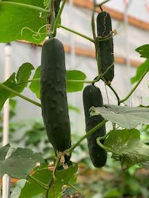 Fruiting vegetables